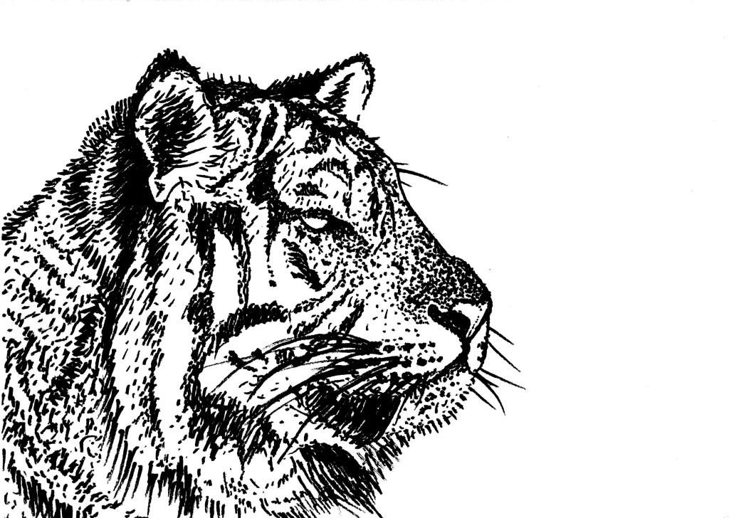 nb tigre